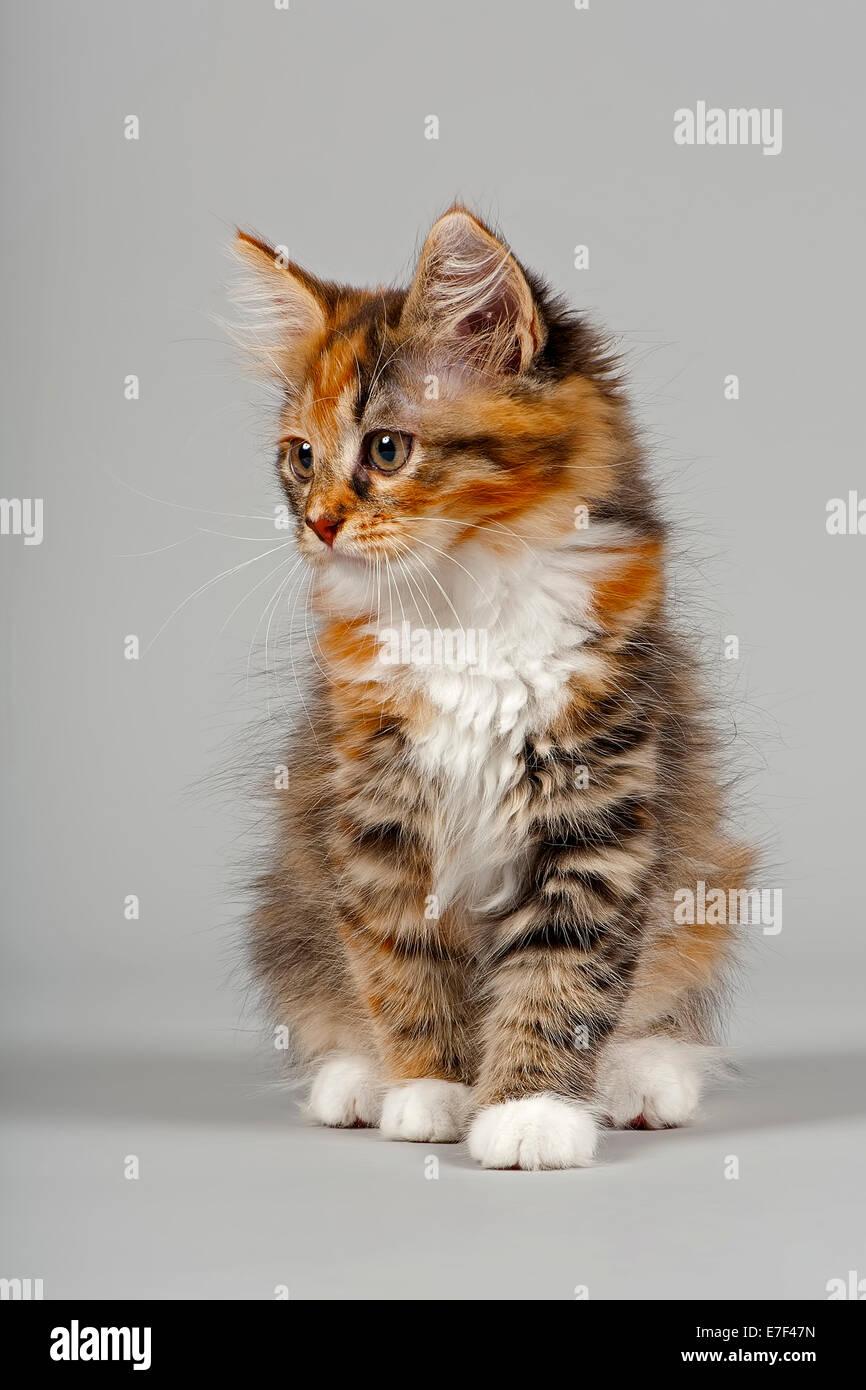 Siberian Forest Cat, kitten, 7 weeks Stock Photo
