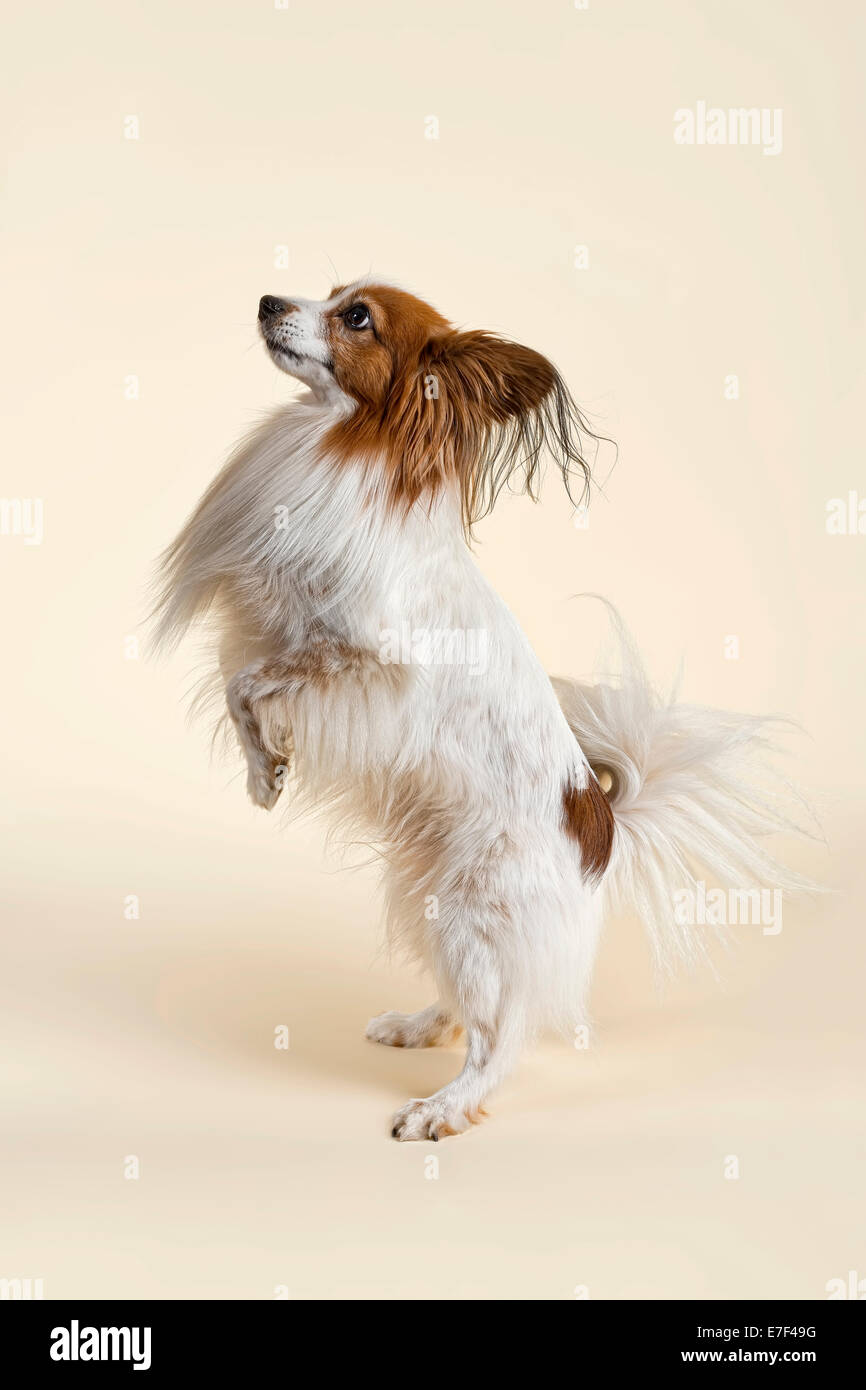 Papillon dog, male, 7 years, colour white sable - Stock Image