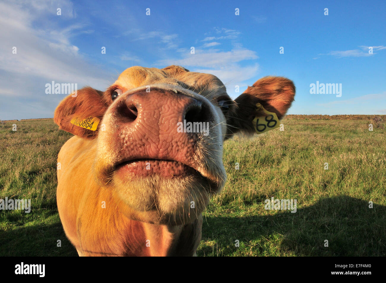 Curious cow near Birsay, Mainland, Orkney, Scotland, United Kingdom - Stock Image