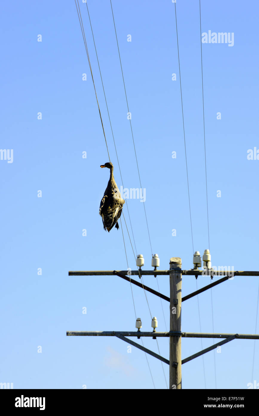 Dead duck hanging on a power line, wildlife accident, Free State ...