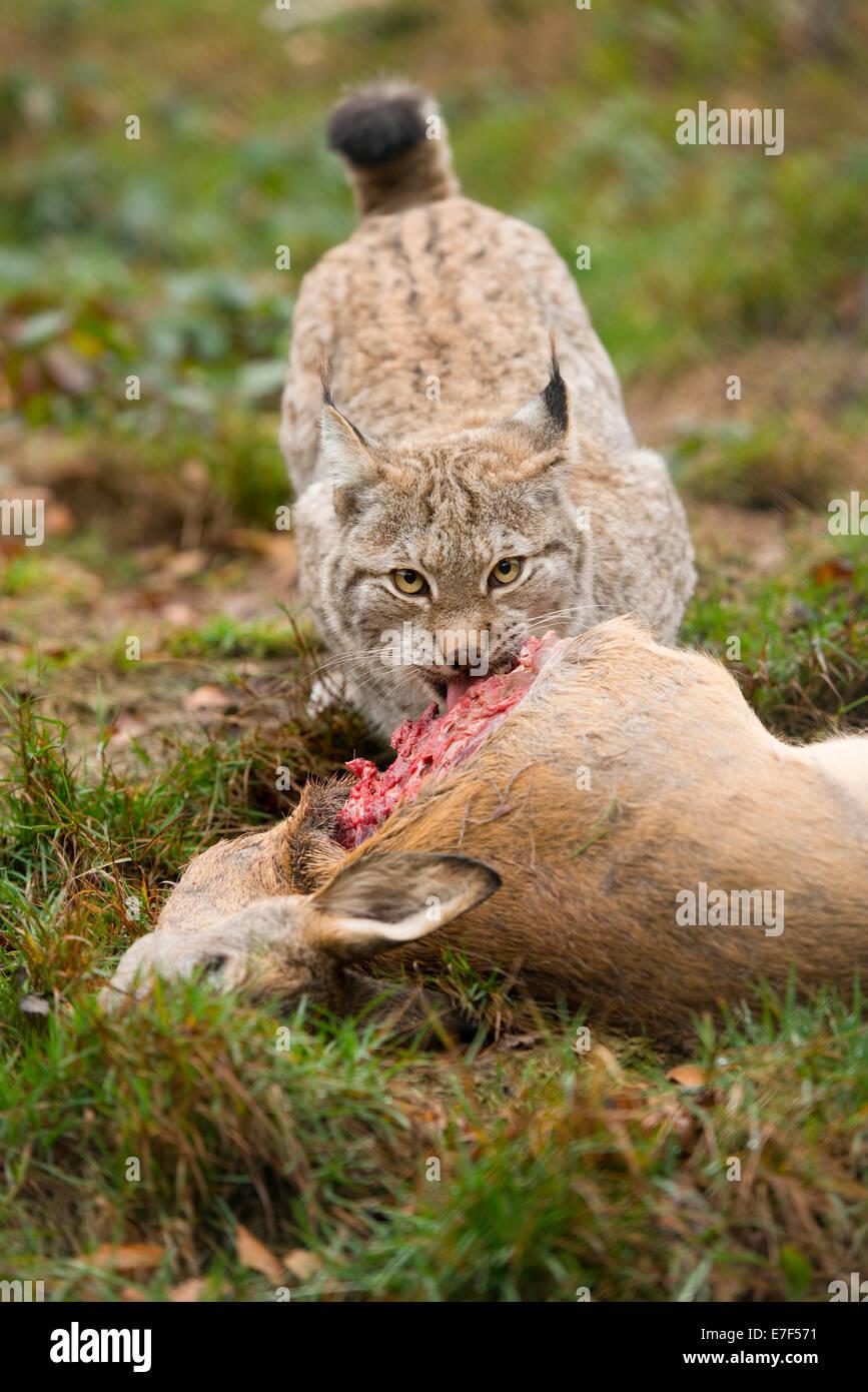 Lynx (Lynx lynx), female, with prey roe deer (Capreolus capreolus), captive, Thuringia, Germany - Stock Image