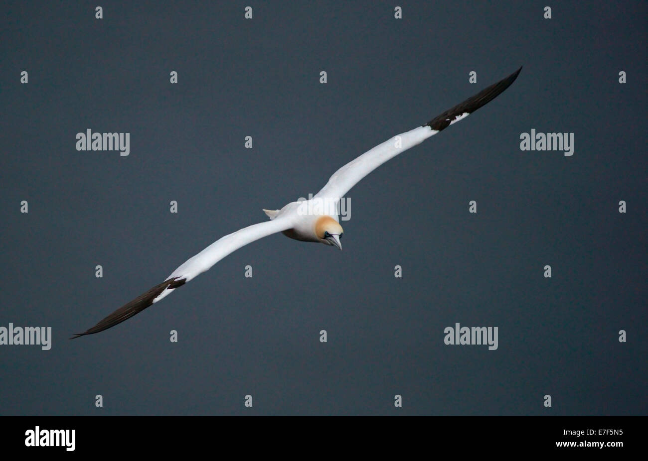 Northern Gannet (Morus bassanus) in flight, Heligoland or Helgoland, Schleswig-Holstein, Germany - Stock Image