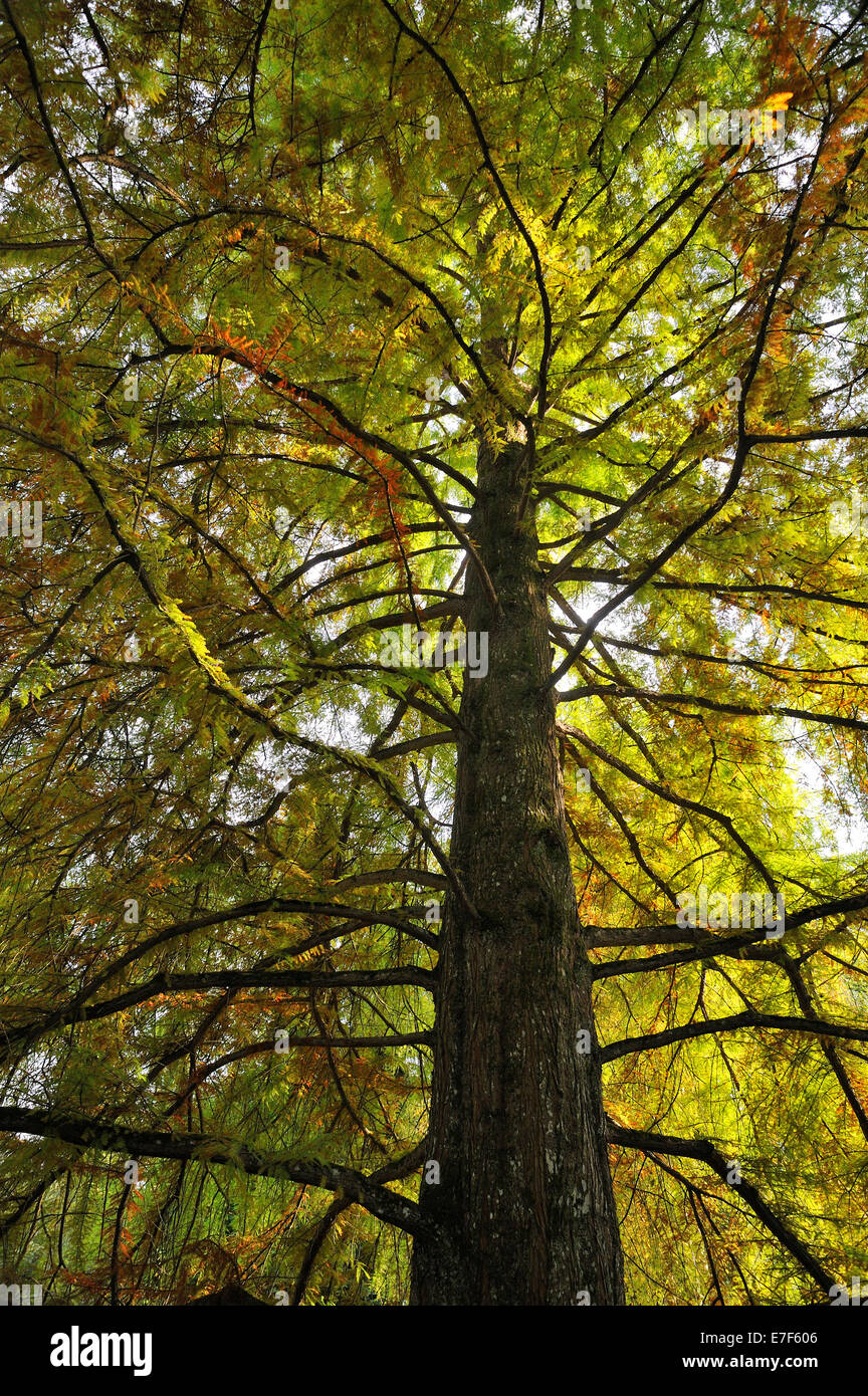 Giant Sequoia (Sequoiadendron giganteum) in autumn colours, from below, Mainau, Baden-Württemberg, Germany Stock Photo