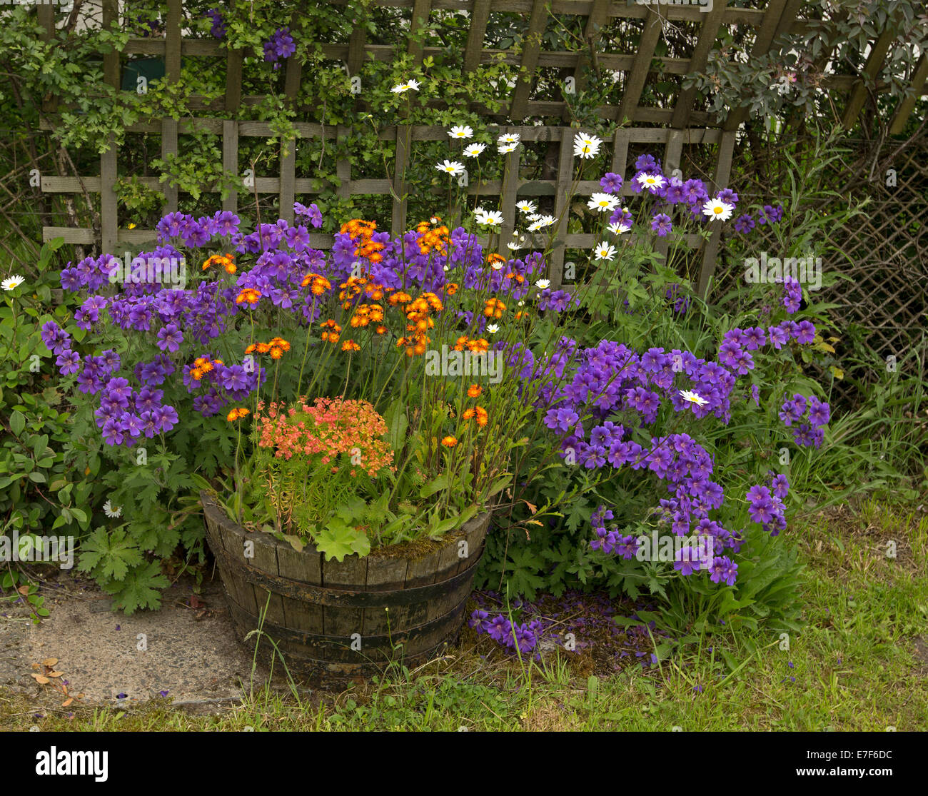 Masses of bright purple orange and white flowers of perennial masses of bright purple orange and white flowers of perennial plants british wildflowers flowering in old wine cask tub in scotland mightylinksfo Choice Image