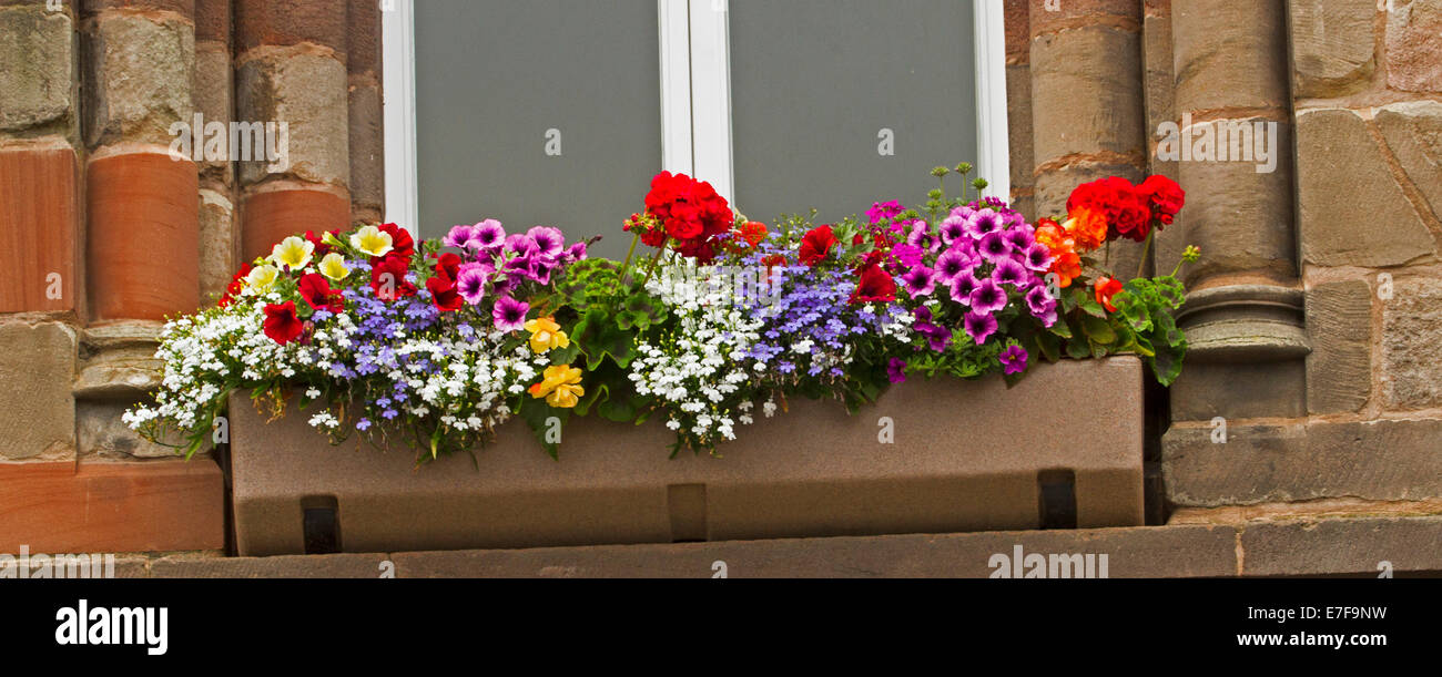 Collection of annual plants with brightly coloured flowers, including red petunias, blue lobelia, and white alyssum, - Stock Image