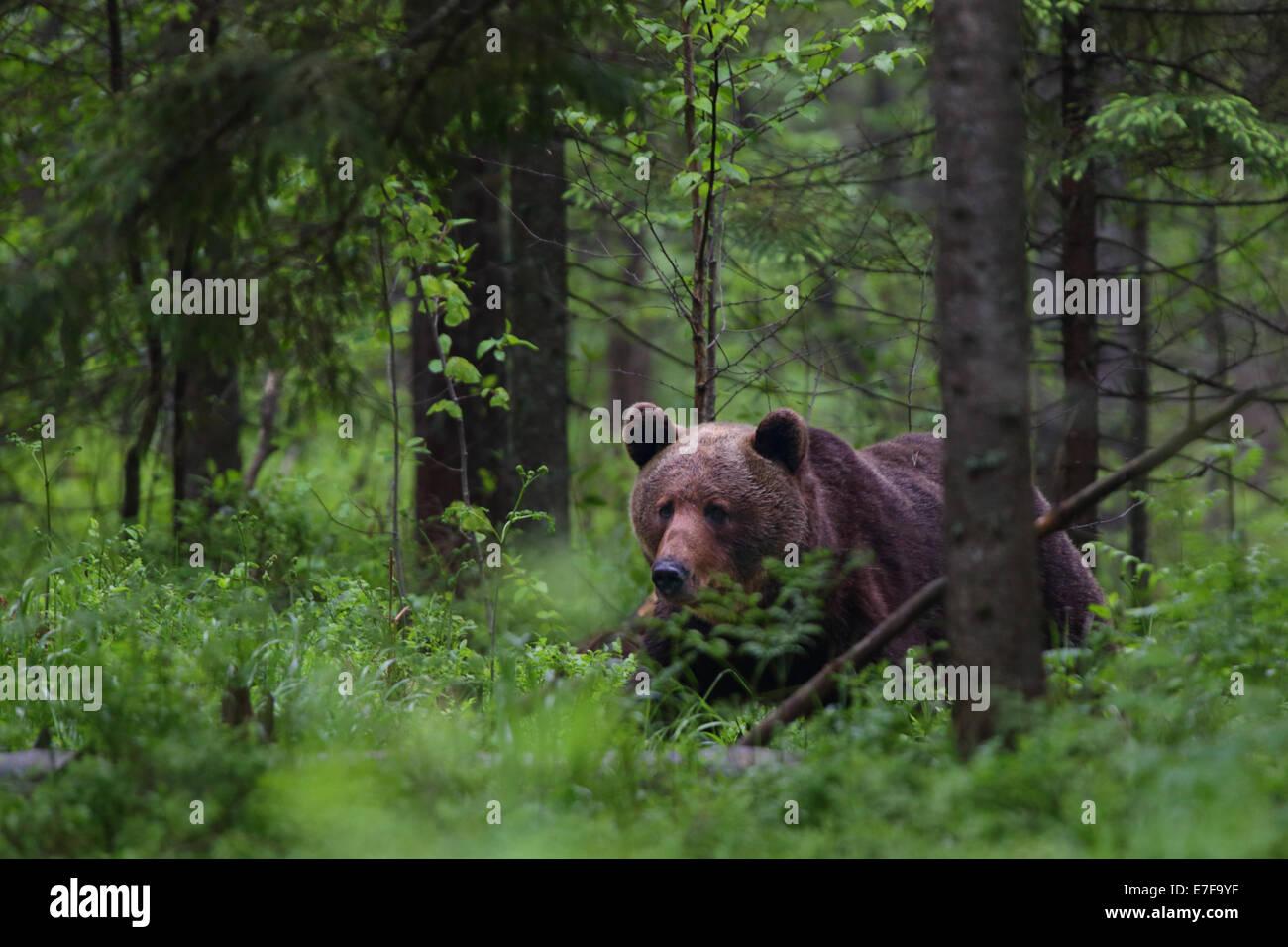 Brown bear (Ursus arctos) in Primeval forest. Europe, Estonia - Stock Image
