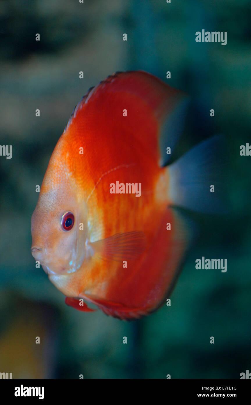 Discus Fish Stock Photos & Discus Fish Stock Images - Page 2 - Alamy