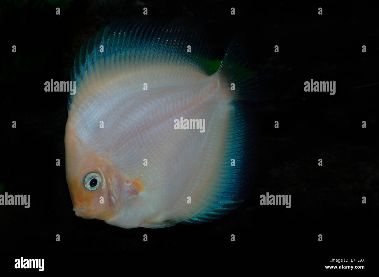White Diamond Discus cichlid Fish - Stock Image