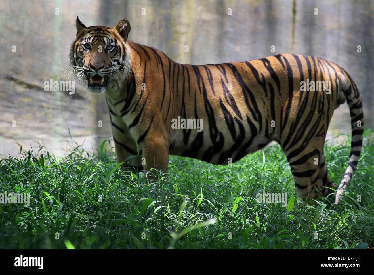 Bali Tiger Stock Photos Bali Tiger Stock Images Alamy
