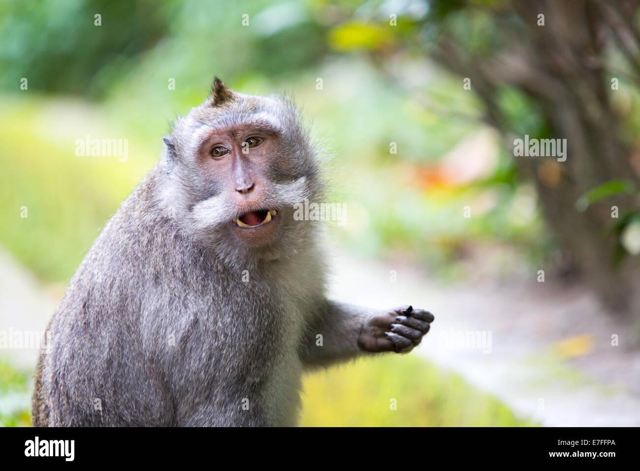 A monkey keeps an eye on its surroundings in Monkey Forest, Ubud, Bali, Indonesia. - Stock Image