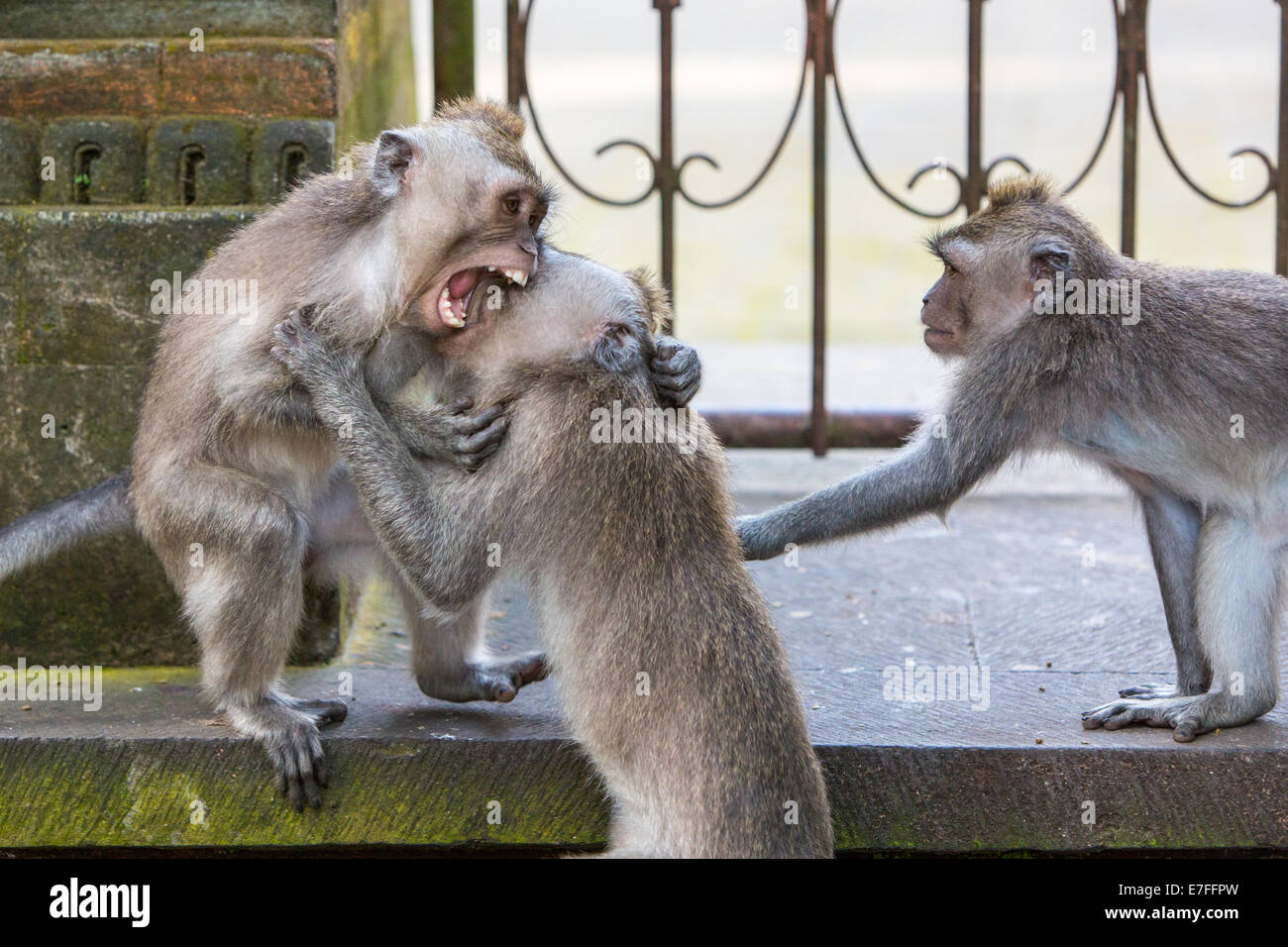 A group of monkeys fight for territory in Monkey Forest, Ubud, Bali, Indonesia. - Stock Image