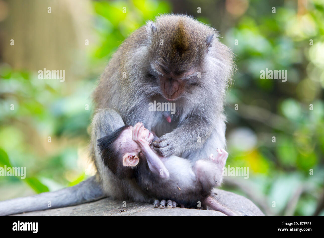 A protective mother protects and plays with her baby in Monkey Forest, Ubud, Bali, Indonesia. - Stock Image