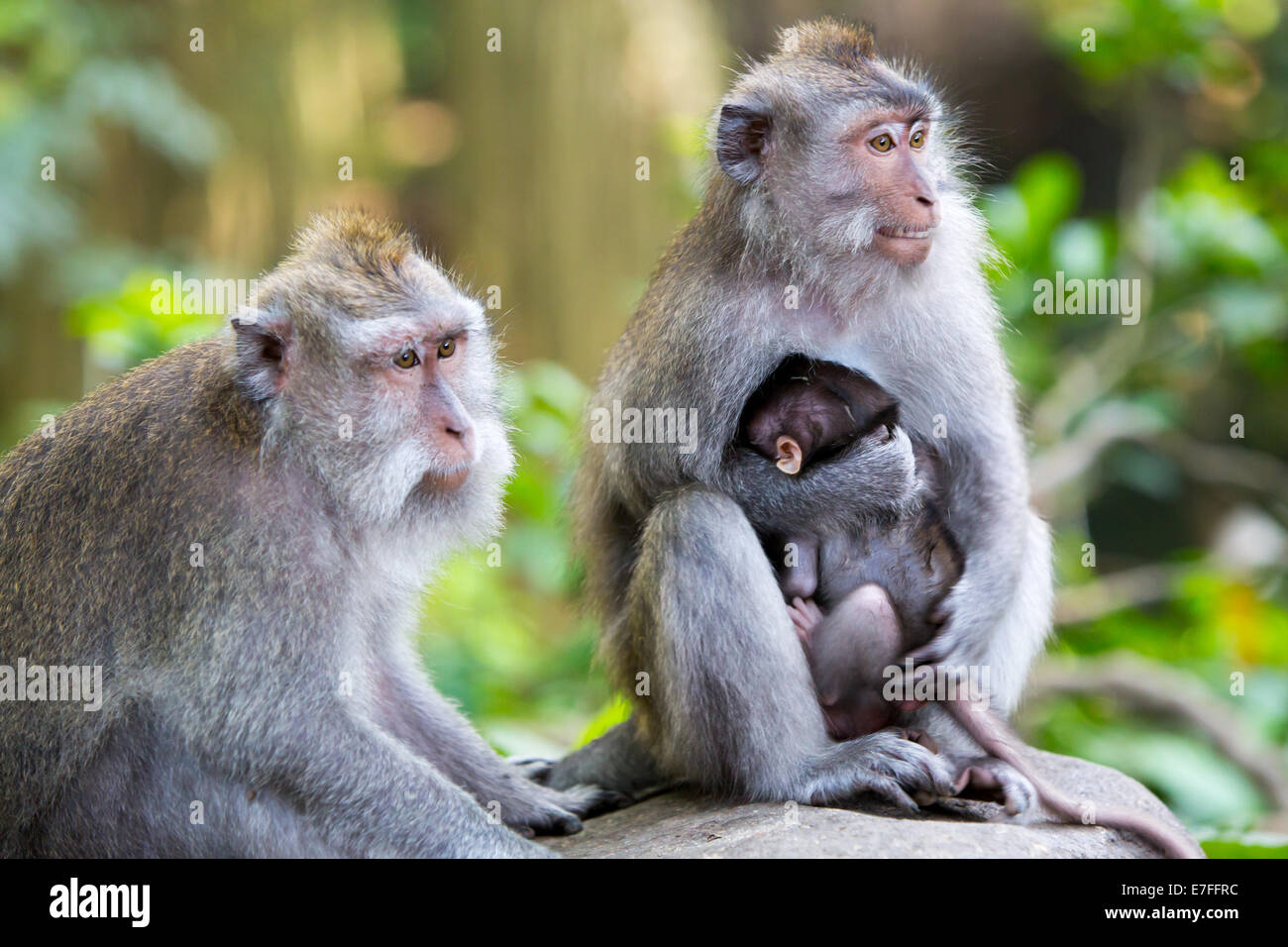 A protective mother protects her baby in Monkey Forest, Ubud, Bali, Indonesia. - Stock Image