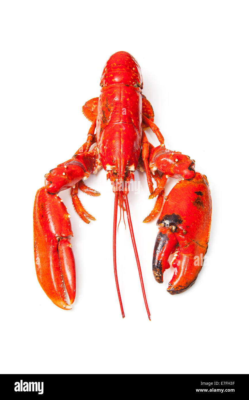 Cooked European common lobster isolated on a white studio background. - Stock Image