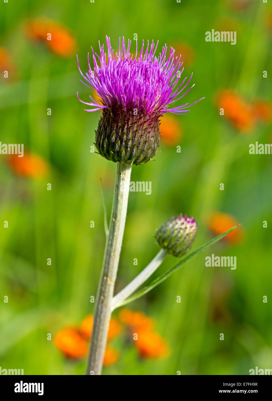 British wildflowers, mauve flower and bud of brook thistle, Cirsium rivulare, against green background near Pitlochry, - Stock Image