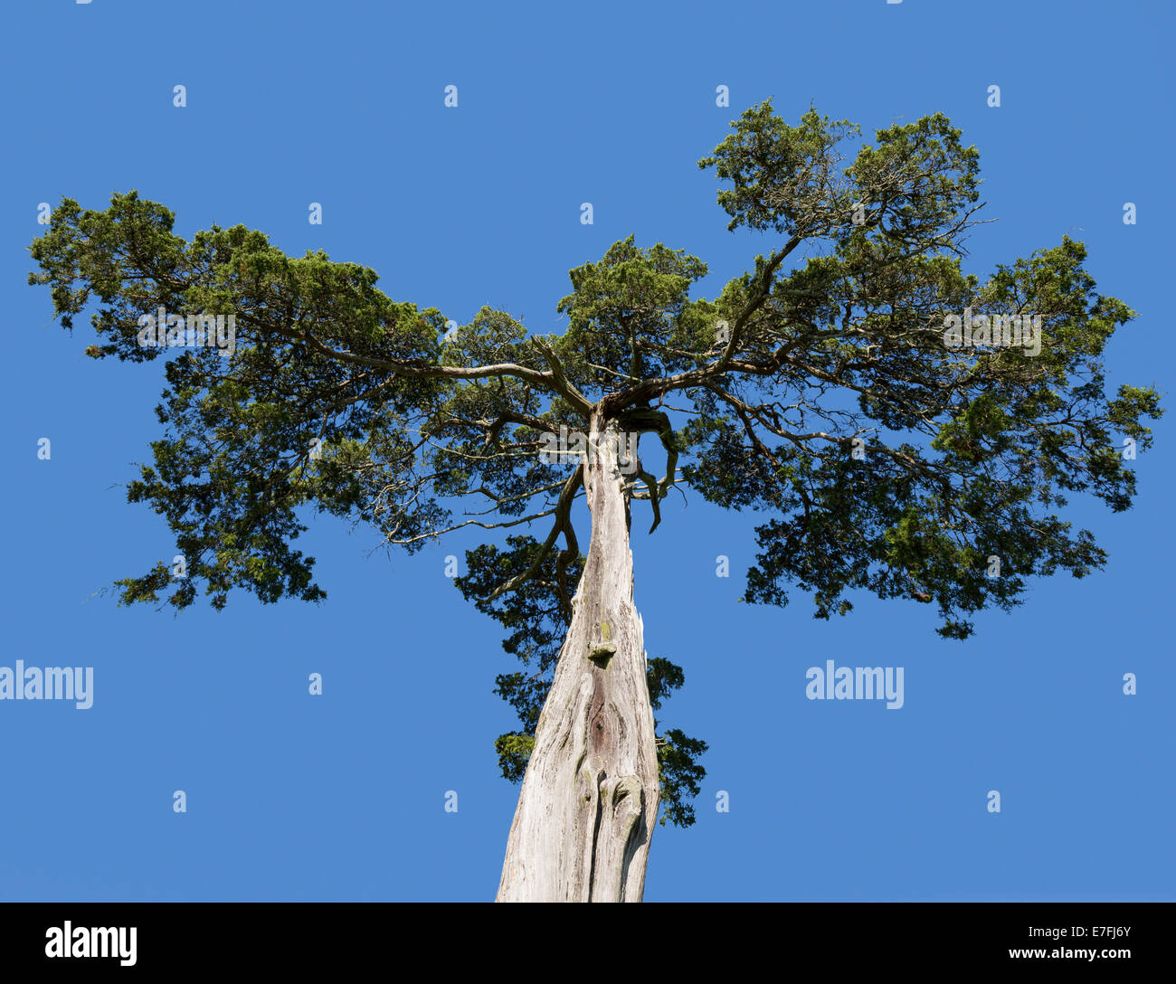 Old and mis-shaped cedar tree at grave of Lafayette Meeks, Confederate soldier at Appomattox Courthouse National - Stock Image