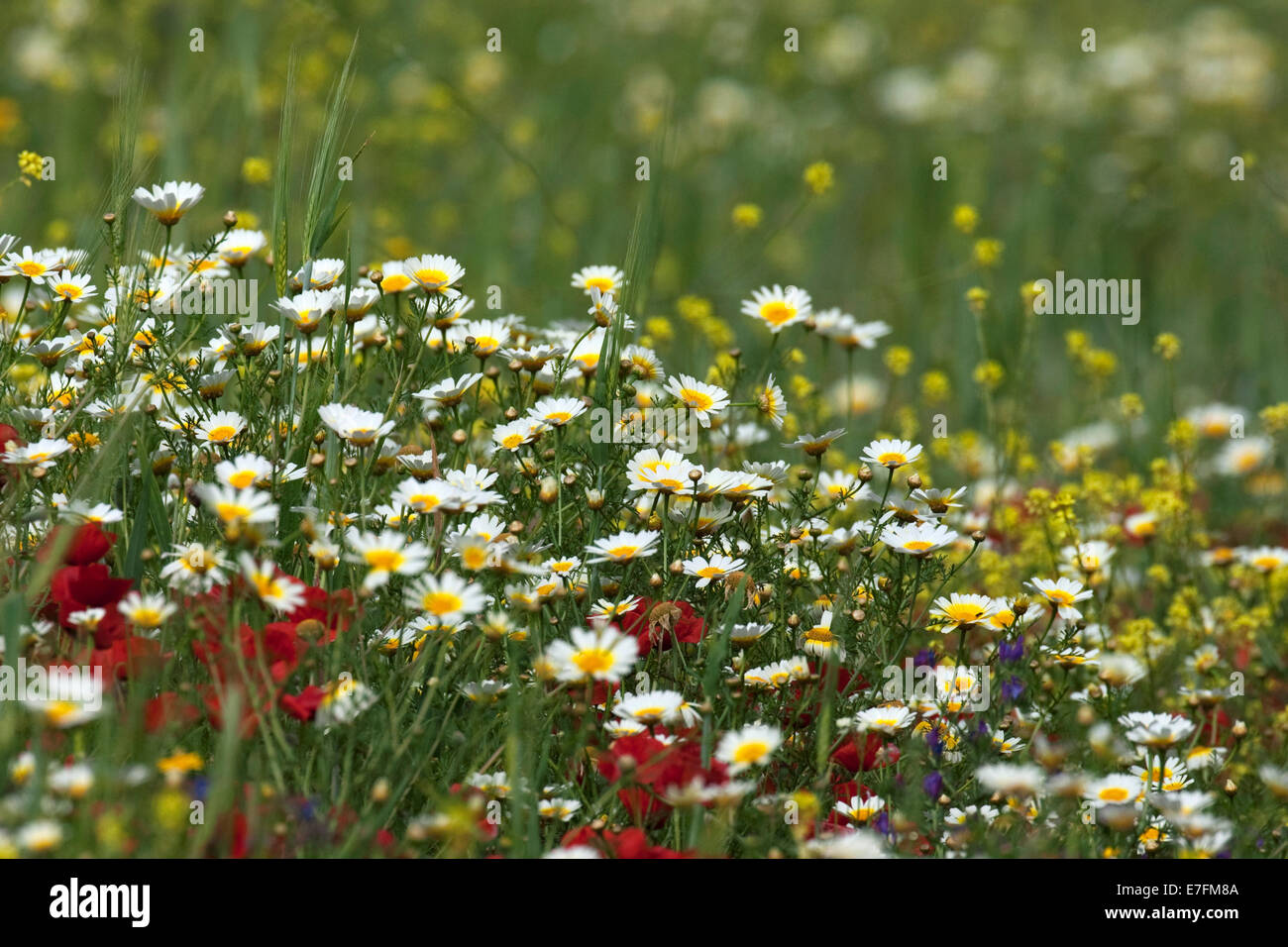 Colourful wildflowers, herbs and weeds flowering in field in spring - Stock Image