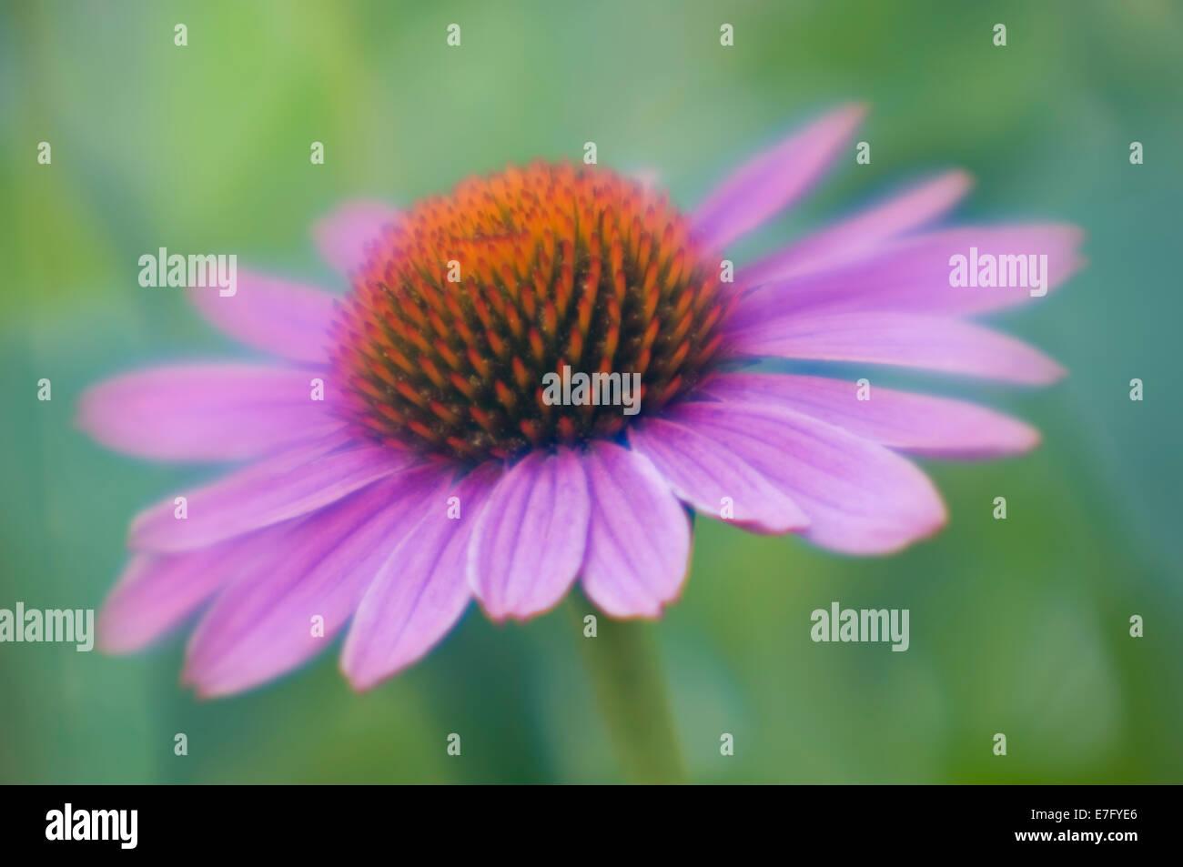 Soft Focus Purple Coneflower - Stock Image