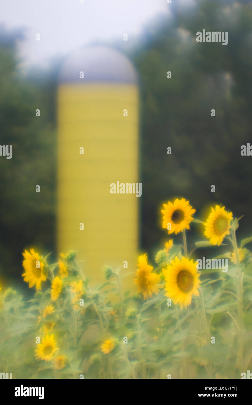 Soft Focus Sunflowers and Yellow Barn Silo at the Parklands in Louisville Kentucky - Stock Image