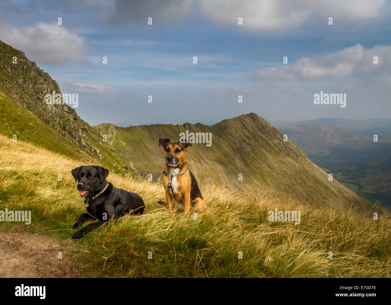 two dogs with Striding Edge on Helvellyn swarming with people, Lake District, UK - Stock Image