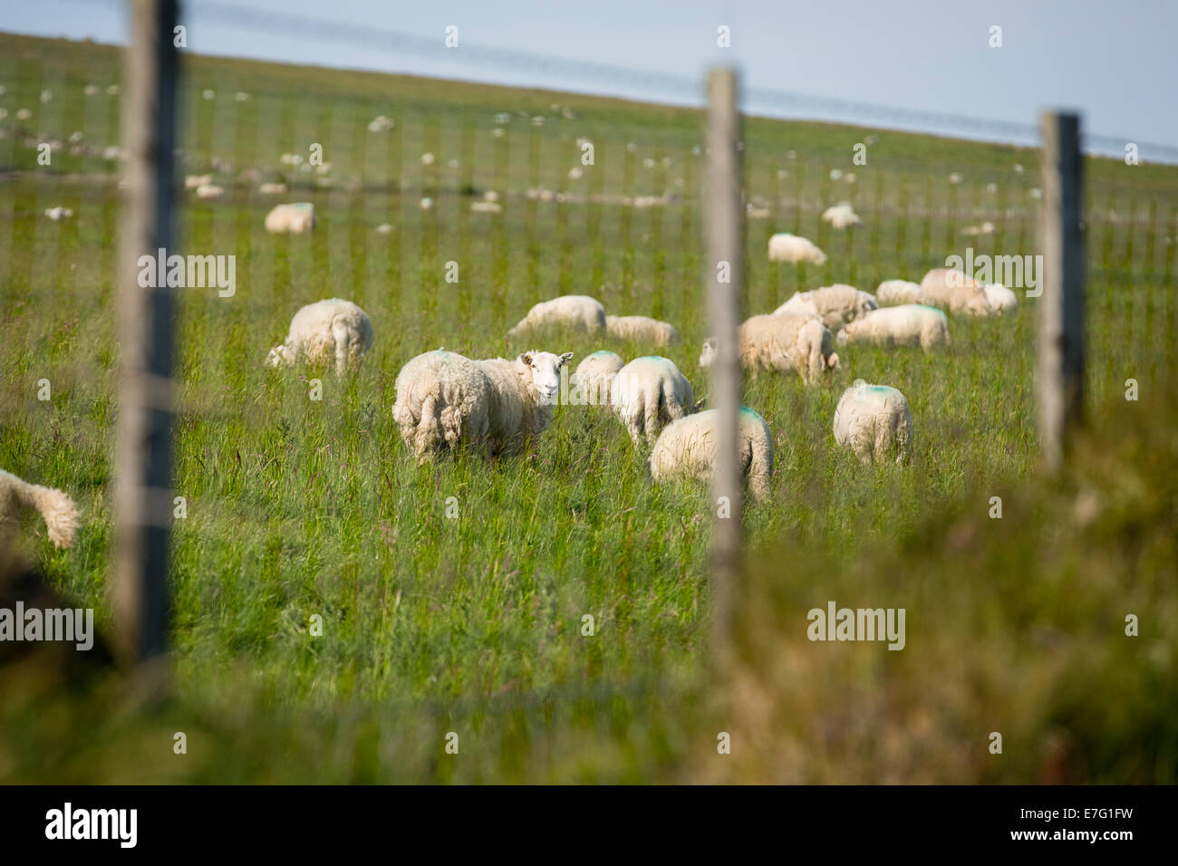 Grazing sheep seen through a fence in Pembrokeshire, Wales - Stock Image