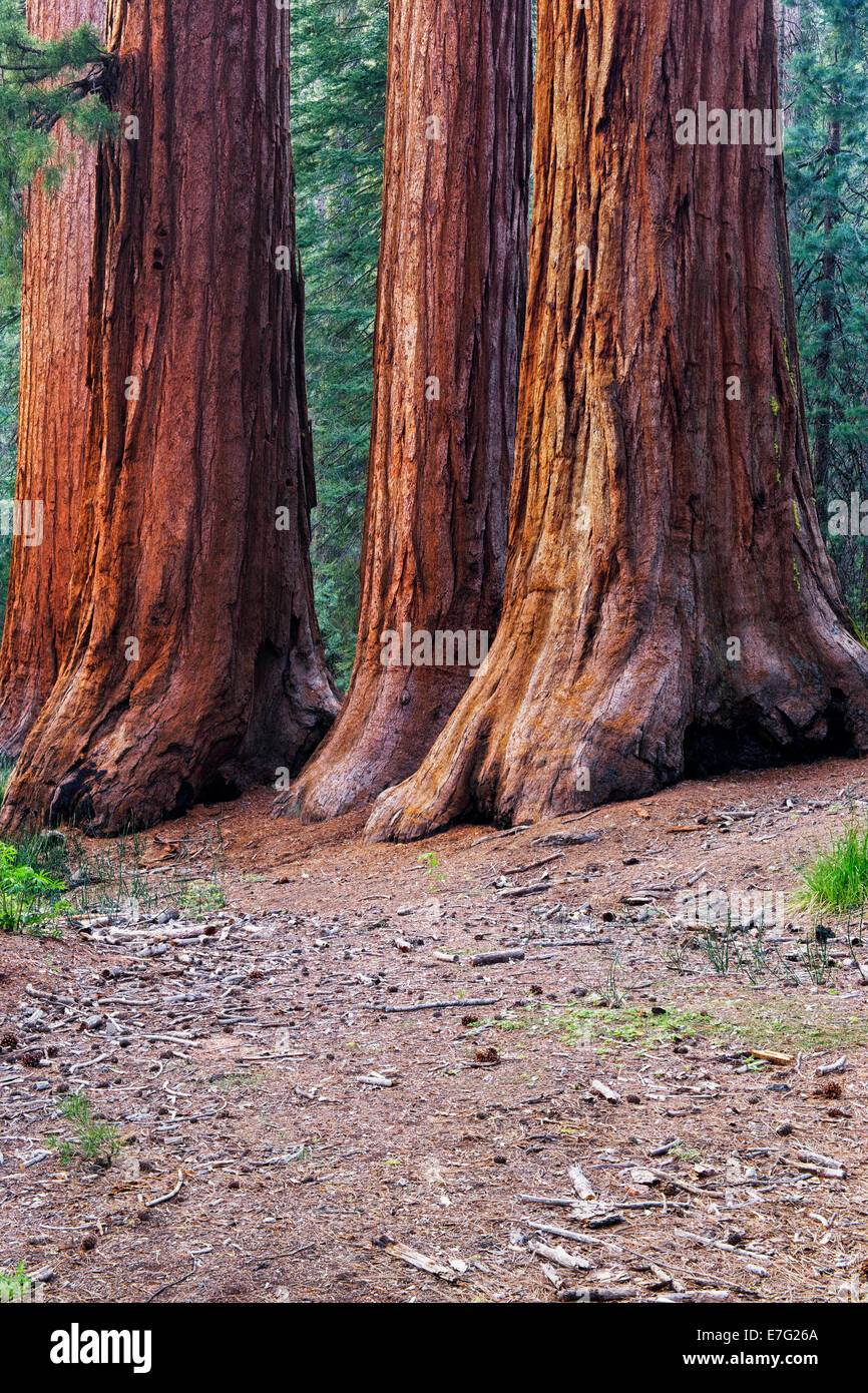The Mariposa Grove of Giant Sequoia Trees in California's Yosemite National Park include the Three Graces. Stock Photo