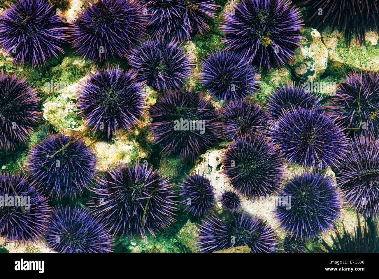 Minus low tide reveals this gallery of purple sea urchins among the tide pools at Yaquina Head on Oregon's central - Stock Image