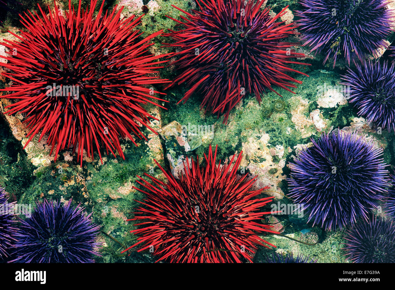 Minus low tide reveals purple and red sea urchins among the tide pools of Oregon's Yaquina Head Outstanding - Stock Image