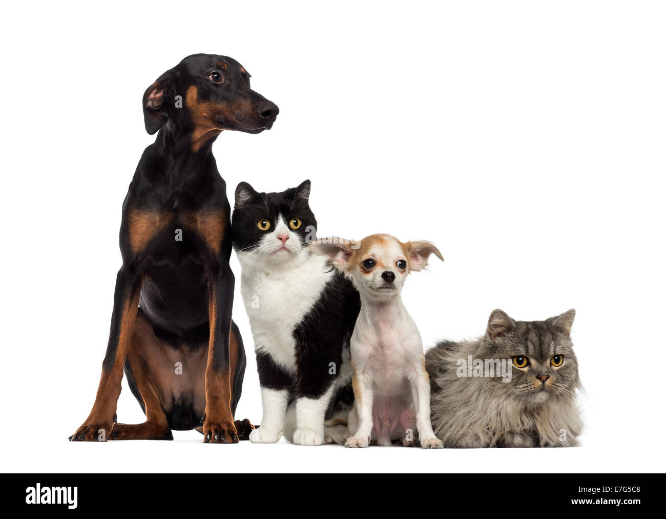 Cat and Dogs sitting together and looking at the camera against white background - Stock Image