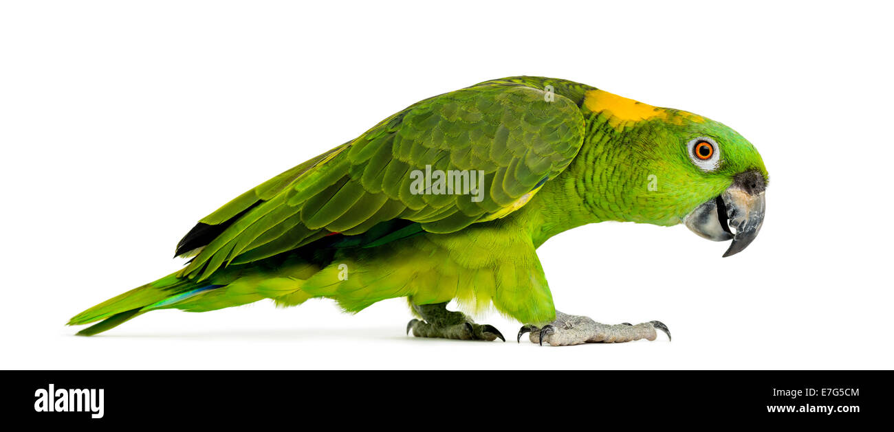 Side view of a Yellow-naped parrot walking (6 years old), isolated on white - Stock Image