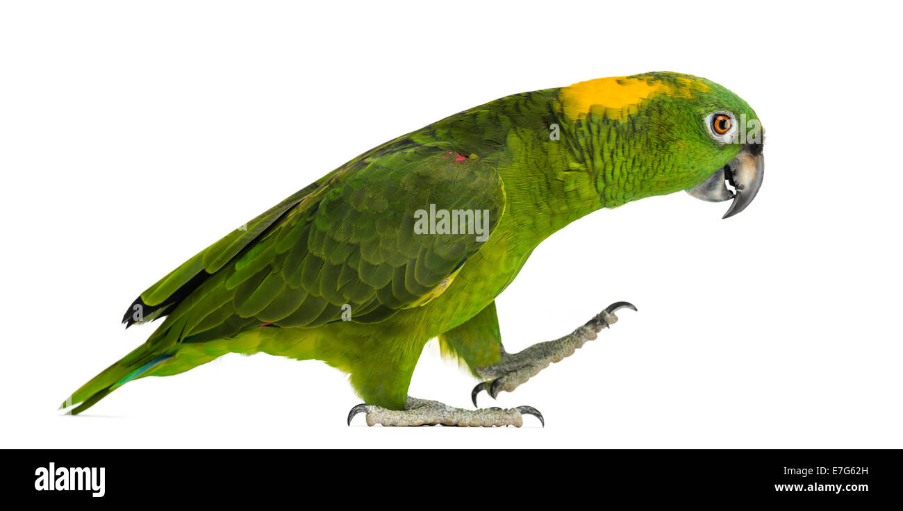 Yellow-naped parrot (6 years old) walking, isolated on white - Stock Image