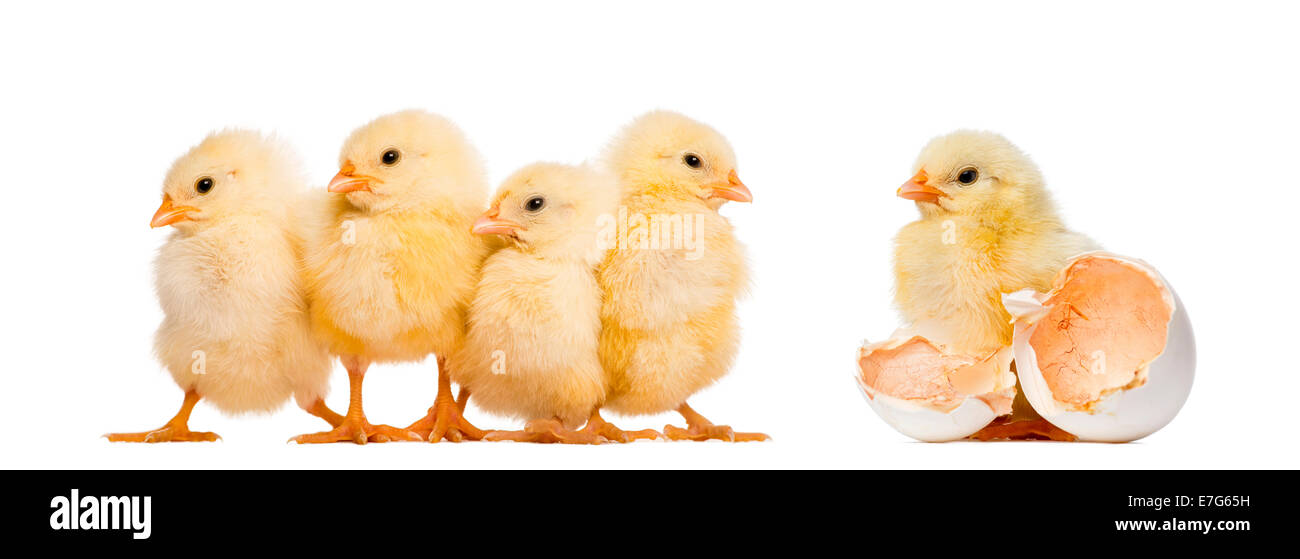 Four Chicks in a row (8 days old) and another standing alone next to its egg against white background - Stock Image