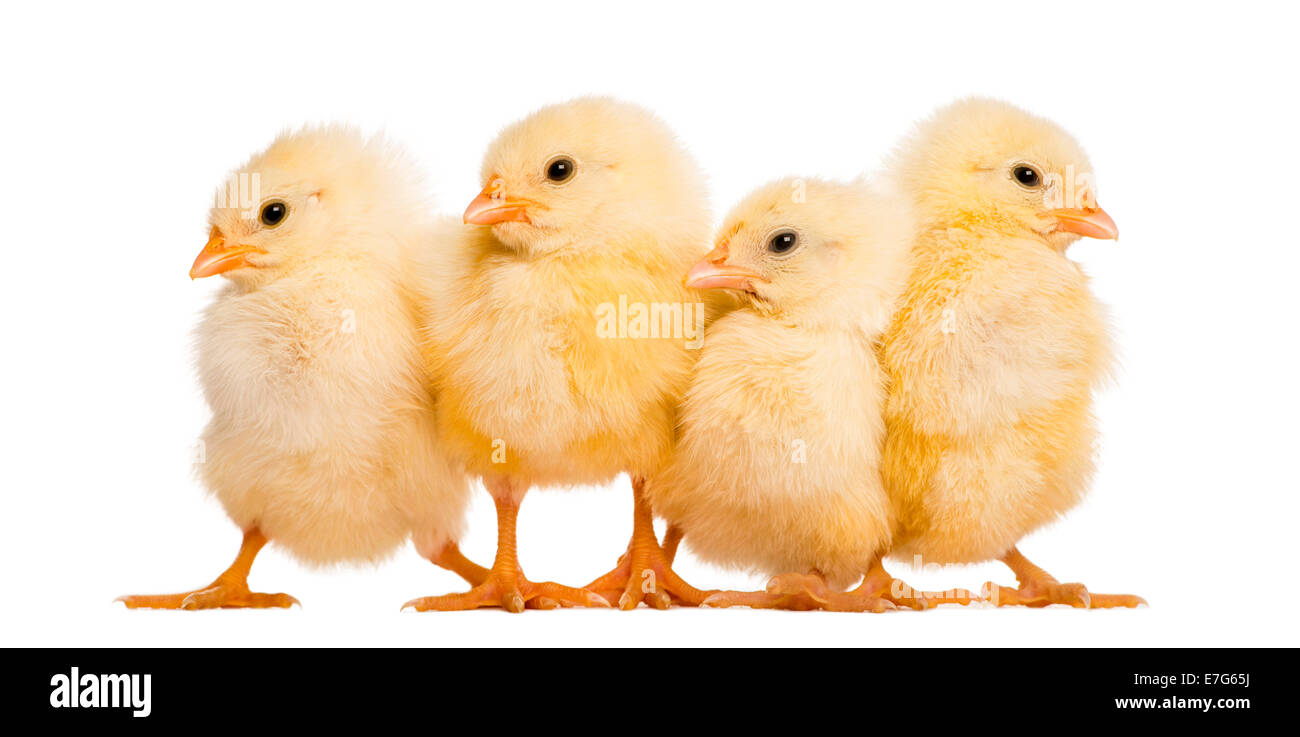 Four Chicks in a row (8 days old) against white background - Stock Image