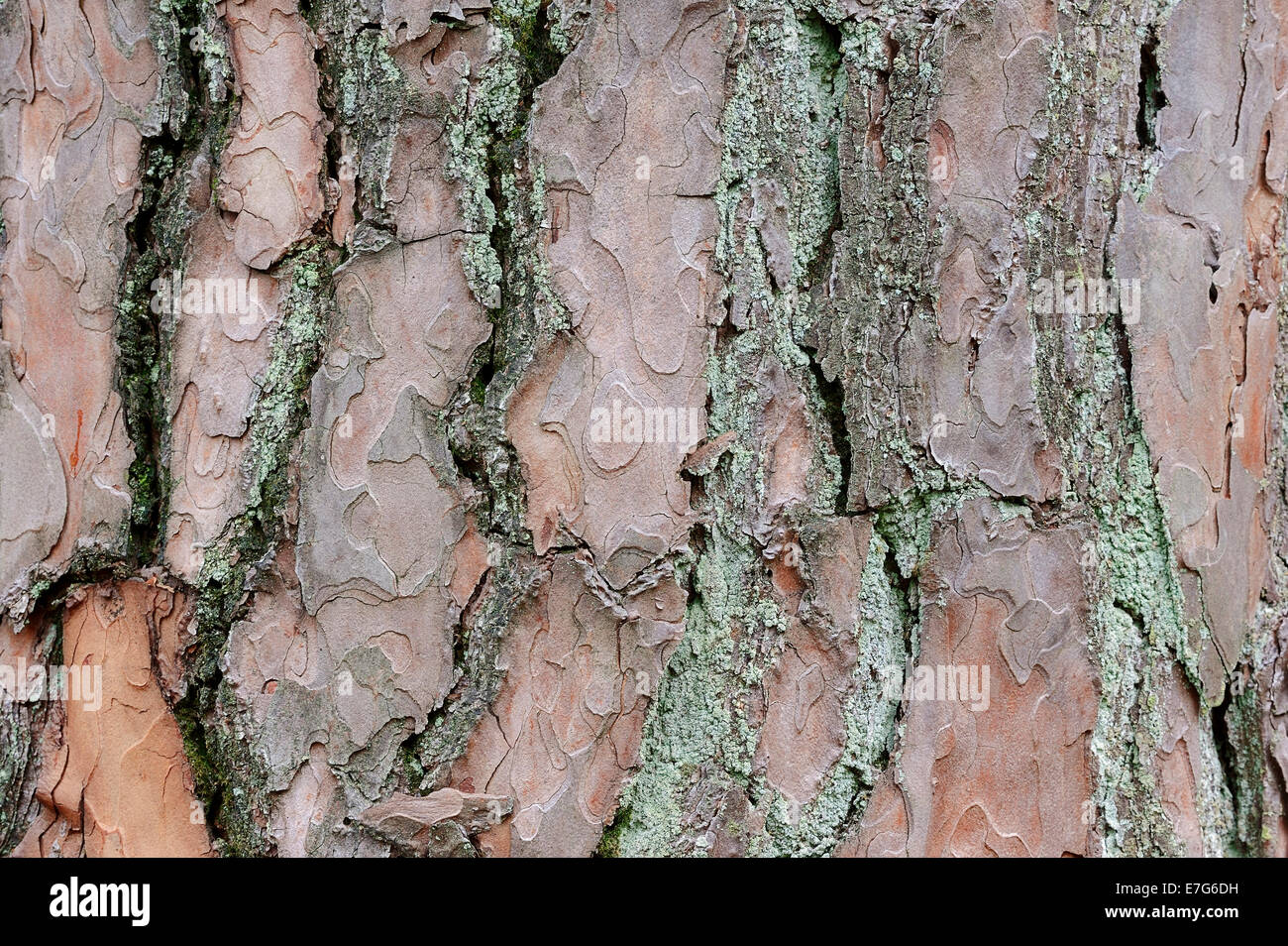 Scots Pine (Pinus sylvestris), bark, Netherlands - Stock Image