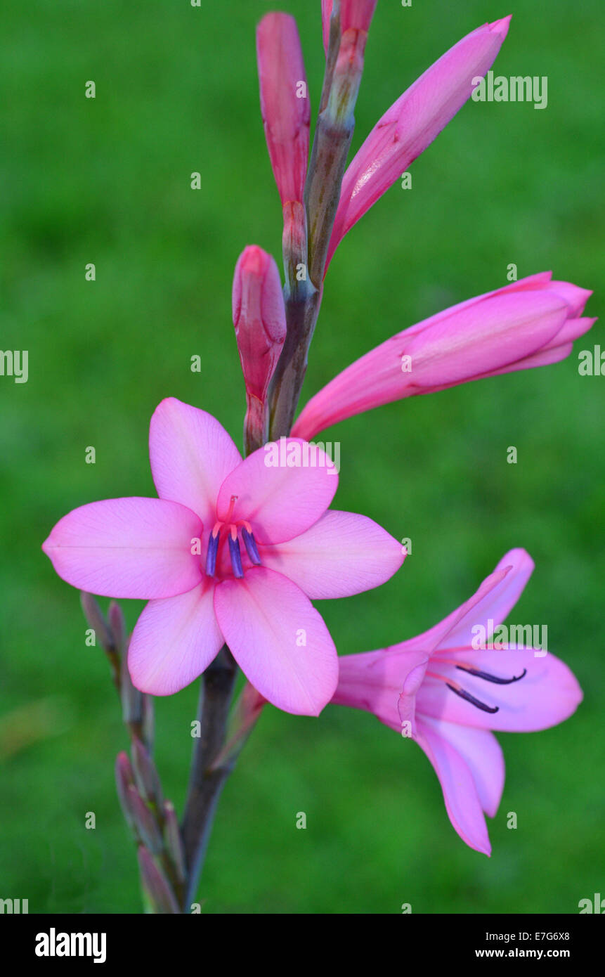 Pink Gladiolus Flower Blooms In The Garden During The Spring Season