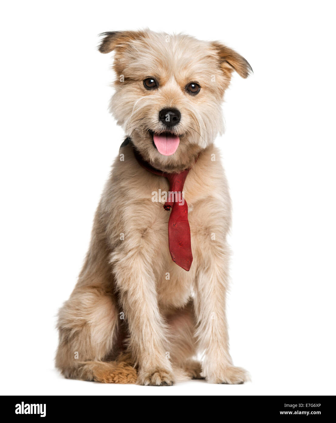 Pyrenean Shepherd wearing a tie (3 years old) against a white background - Stock Image