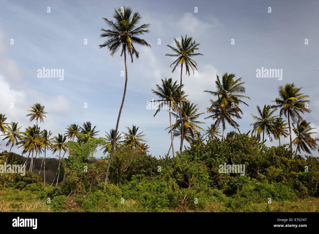 Coconut palm trees (Cocos nucifera), Little Tobago, Trinidad and Tobago - Stock Image