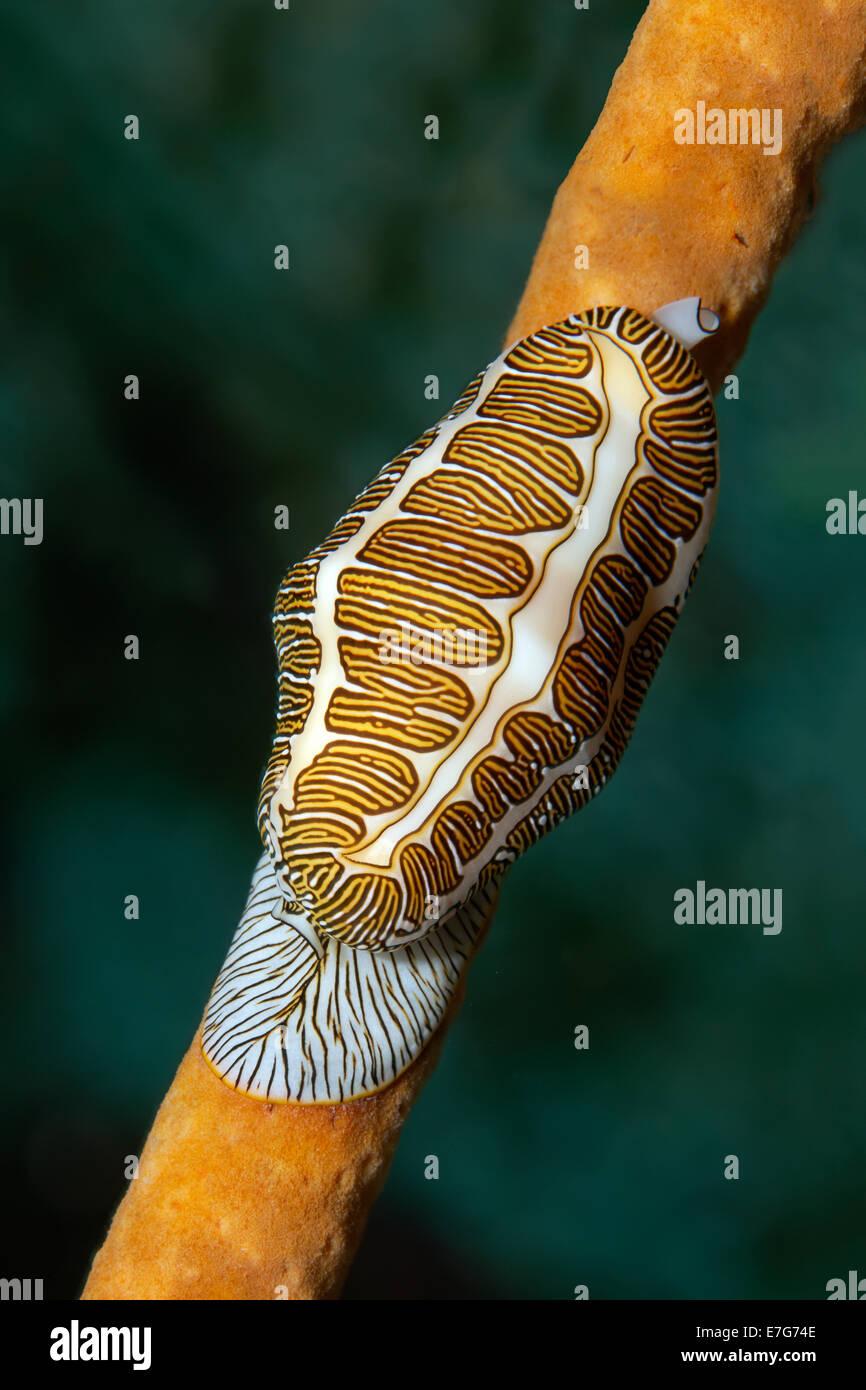 Fingerprint Flamingo Tongue (Cyphoma signatum) crawling over sponge, Little Tobago, Trinidad and Tobago - Stock Image