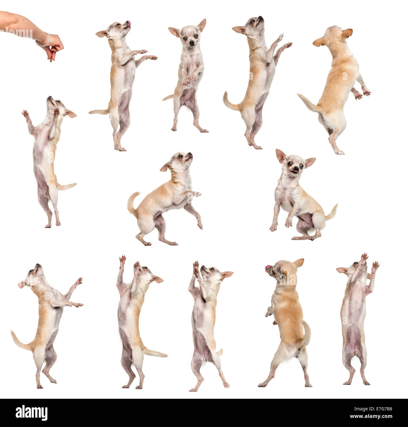 Collection of 12 Chihuahuas in different positions against white background - Stock Image