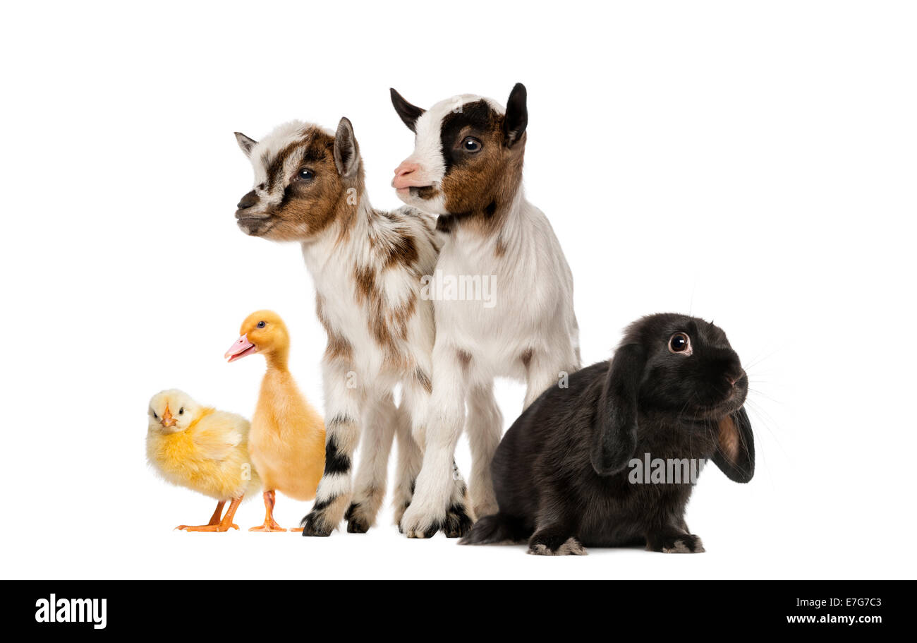 Group of farm animals against white background - Stock Image