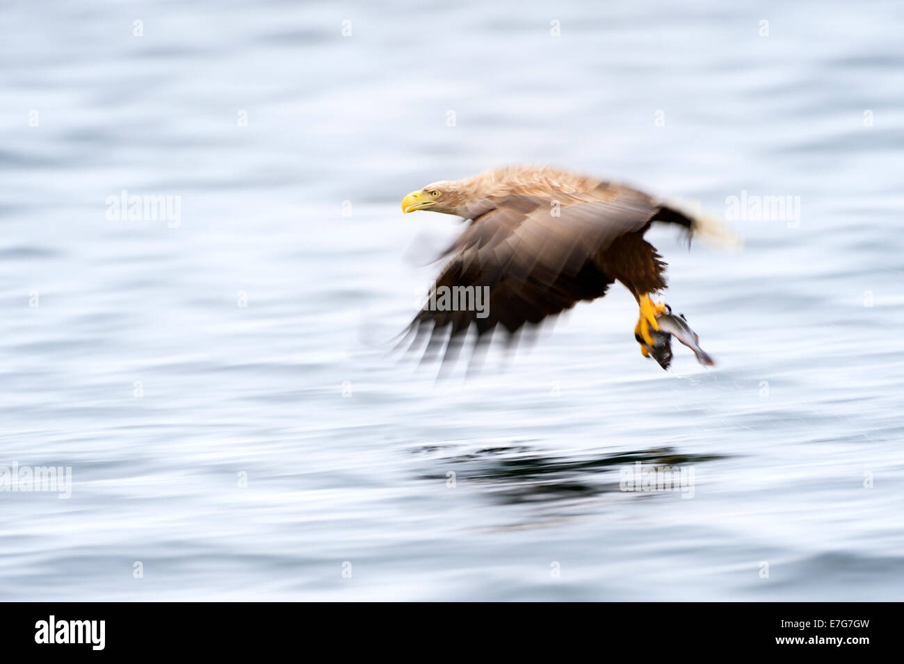White-tailed eagle (Haliaeetus albicilla) catching fish in Norwegian bay with slow shutterspeed. - Stock Image