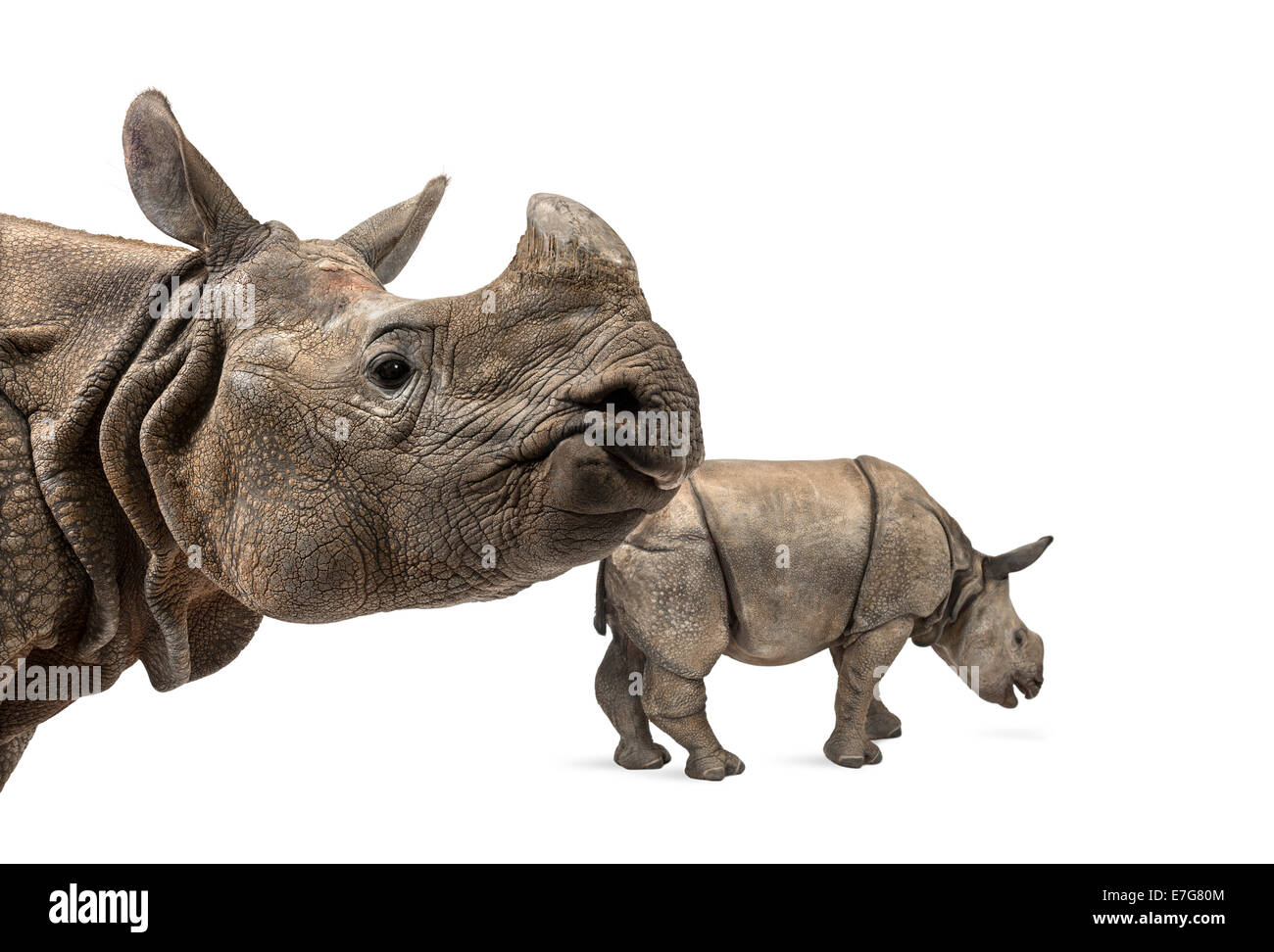 Indian rhinoceros mother and her baby in front of white background Stock Photo