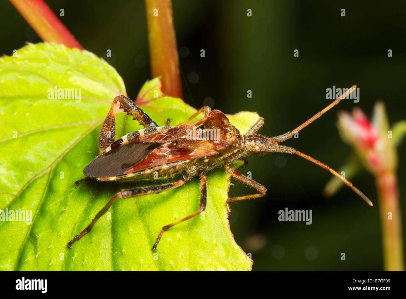 Adult Western conifer seed bug, Leptoglossus occidentalis - Stock Image