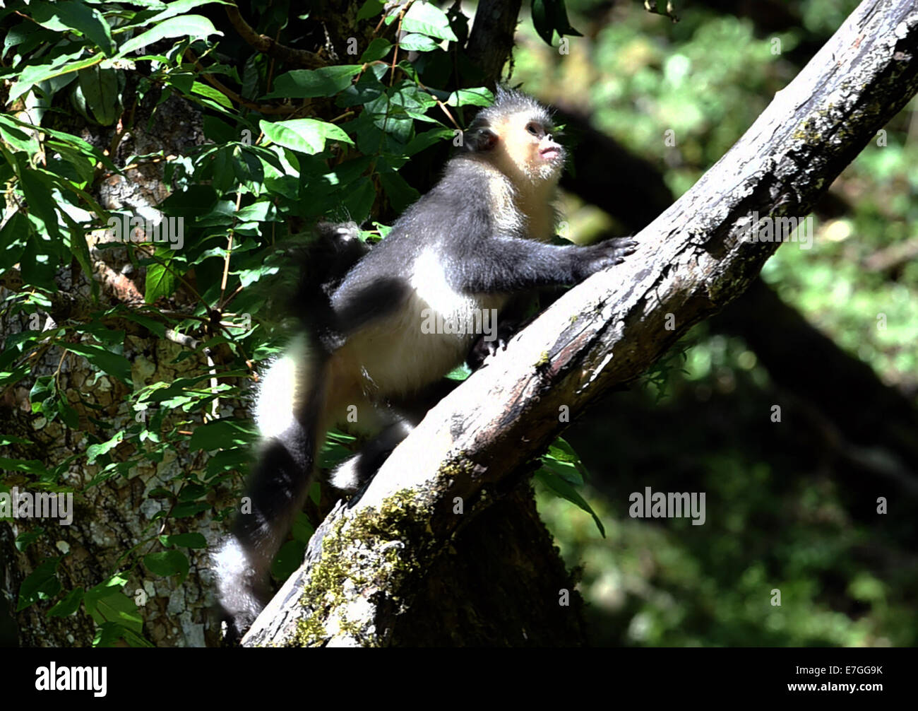 Dequn, Yunnan, China. 17th September, 2014. A black snub-nosed monkey (Rhinopithecus bieti) looks for food in the - Stock Image