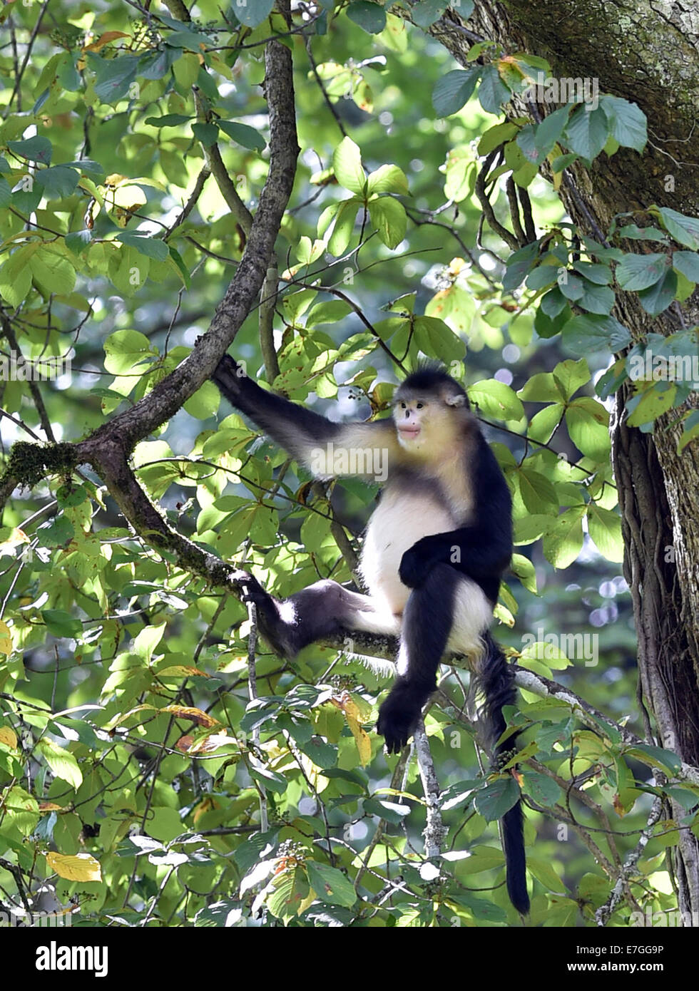 Dequn, Yunnan, China. 17th September, 2014. A black snub-nosed monkey (Rhinopithecus bieti) sits on a tree branch - Stock Image