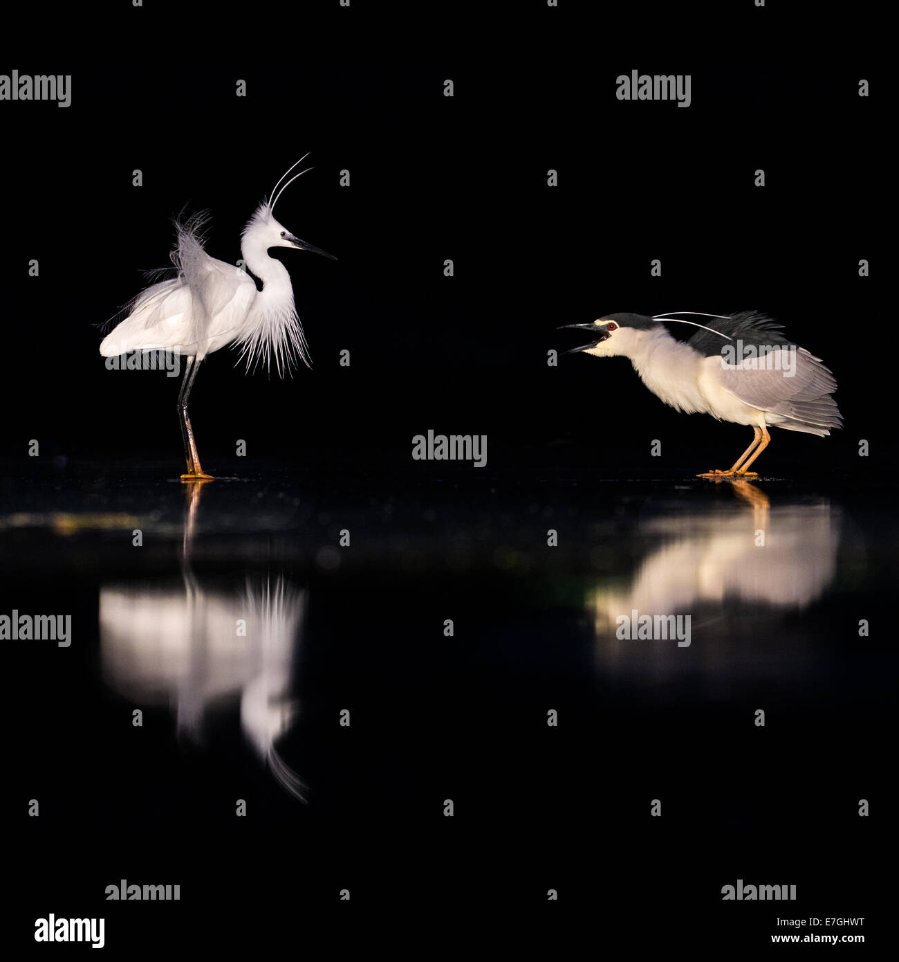 Black-crowned Night Heron (Nycticorax nycticorax) threatening a Little Egret (Egretta garzetta) at night - Stock Image