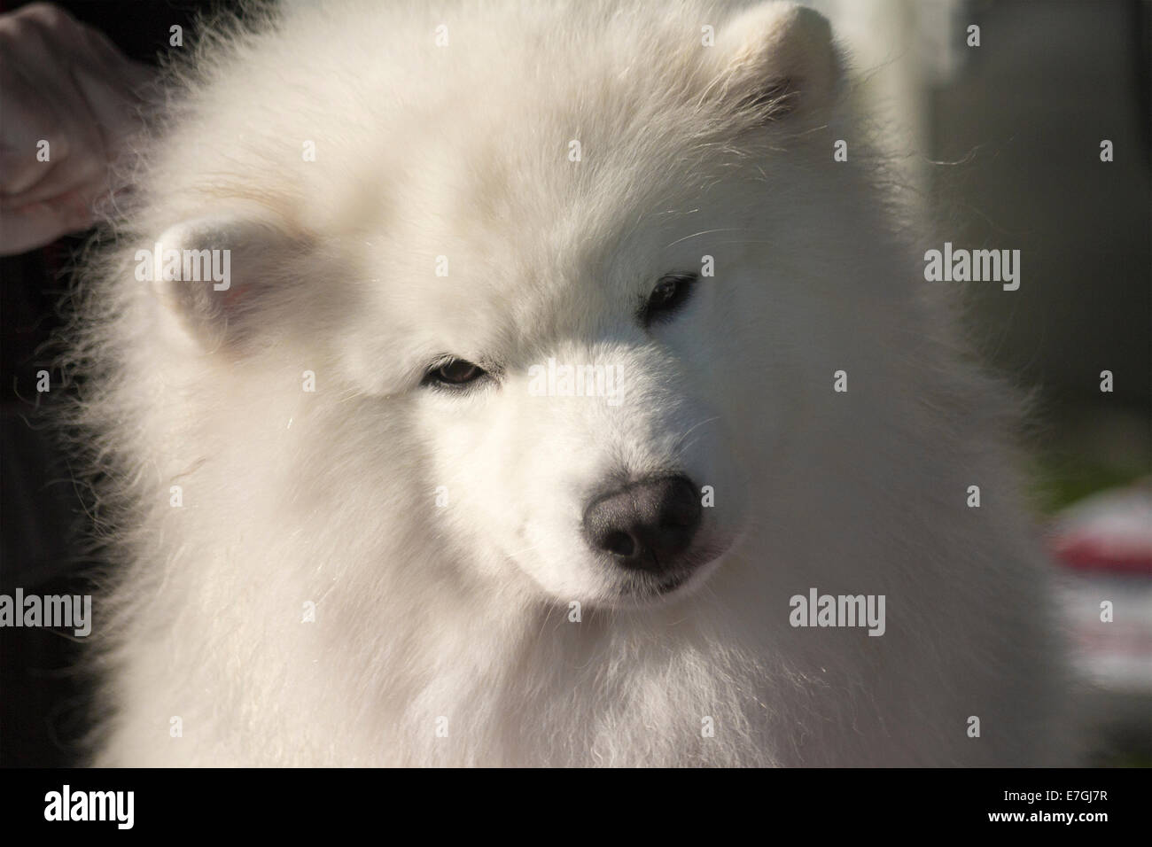 Close up of Samoyed dog being prepared for its' class at a local dog show with his head cocked to the side - Stock Image