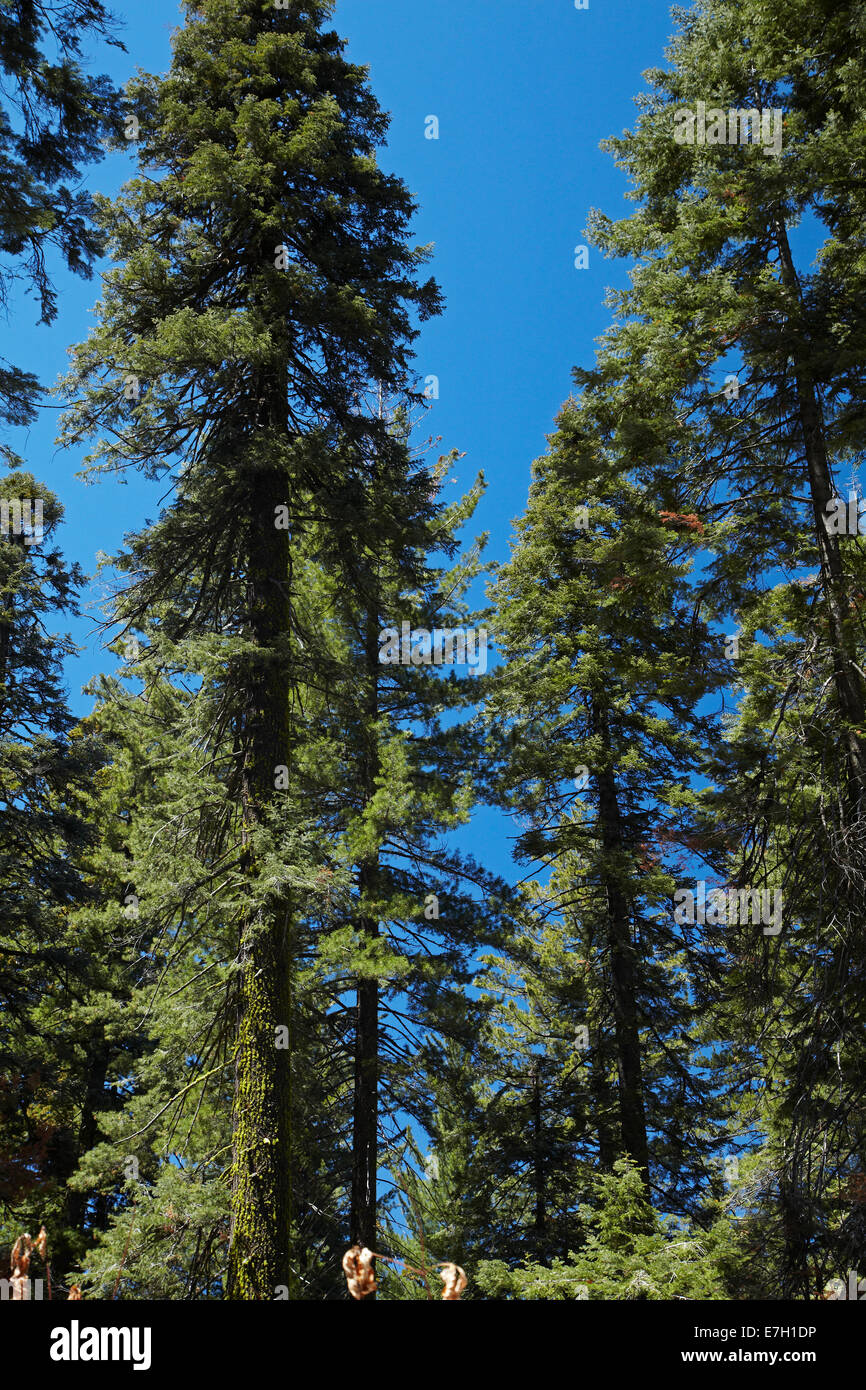Trees at Tuolumne Sequoia Grove, near Crane Flat, Yosemite National Park, California, USA - Stock Image