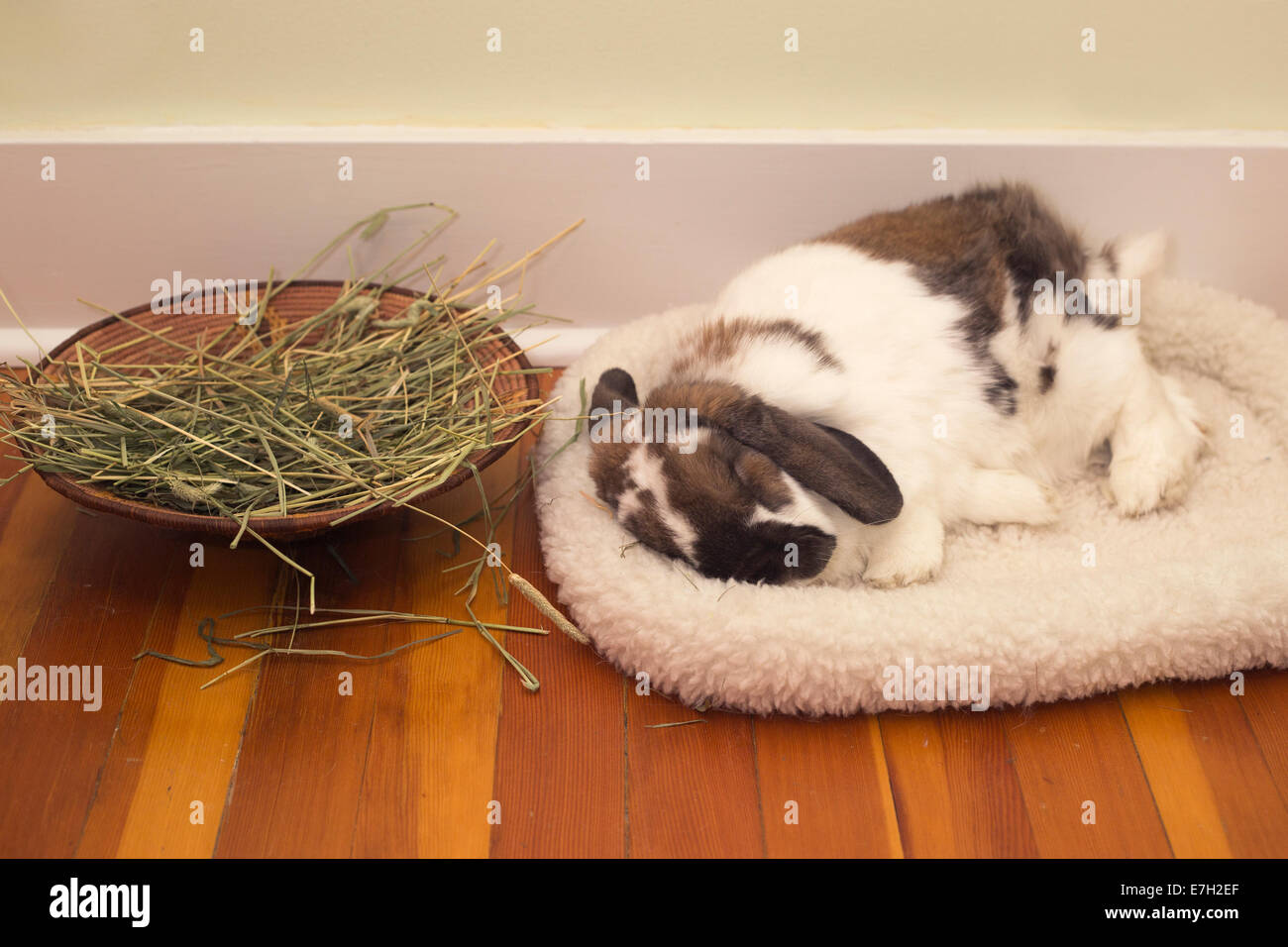 Nine-year old pet Holland Lop dwarf rabbit sleeping on fleece bed beside basket of timothy hay inside house - Stock Image