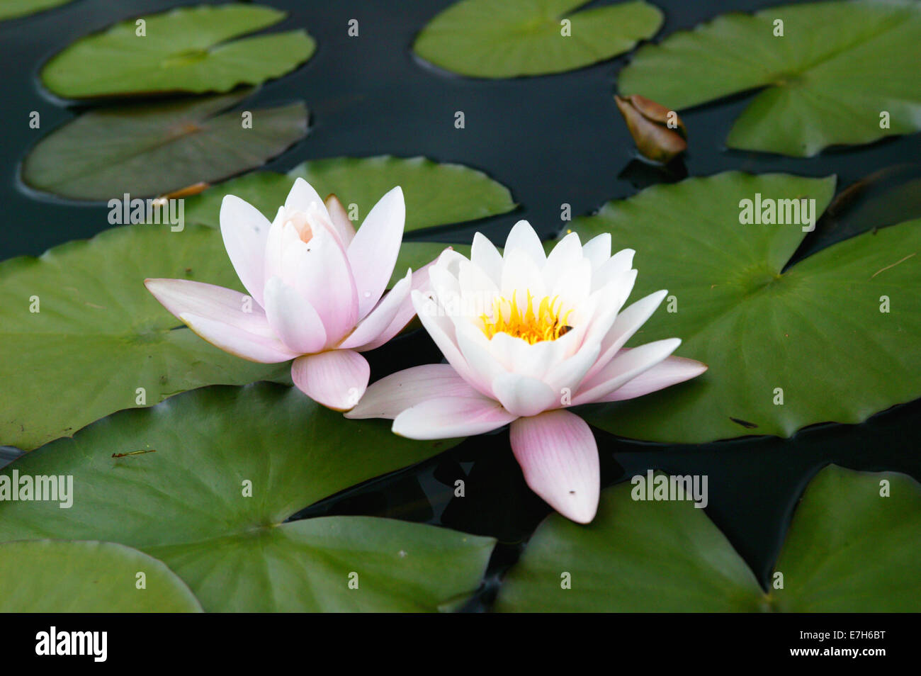 Light pink and white lily flowers amongst lily pads in a pond stock light pink and white lily flowers amongst lily pads in a pond izmirmasajfo